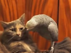 Наглый попугай достал кота!